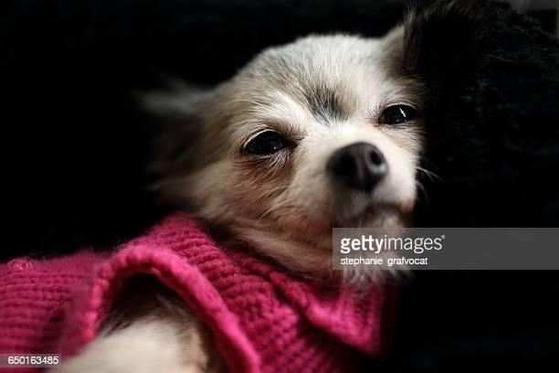 Chihuahua dog wearing pink sweater