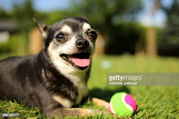 Chihuahua dog with a ball