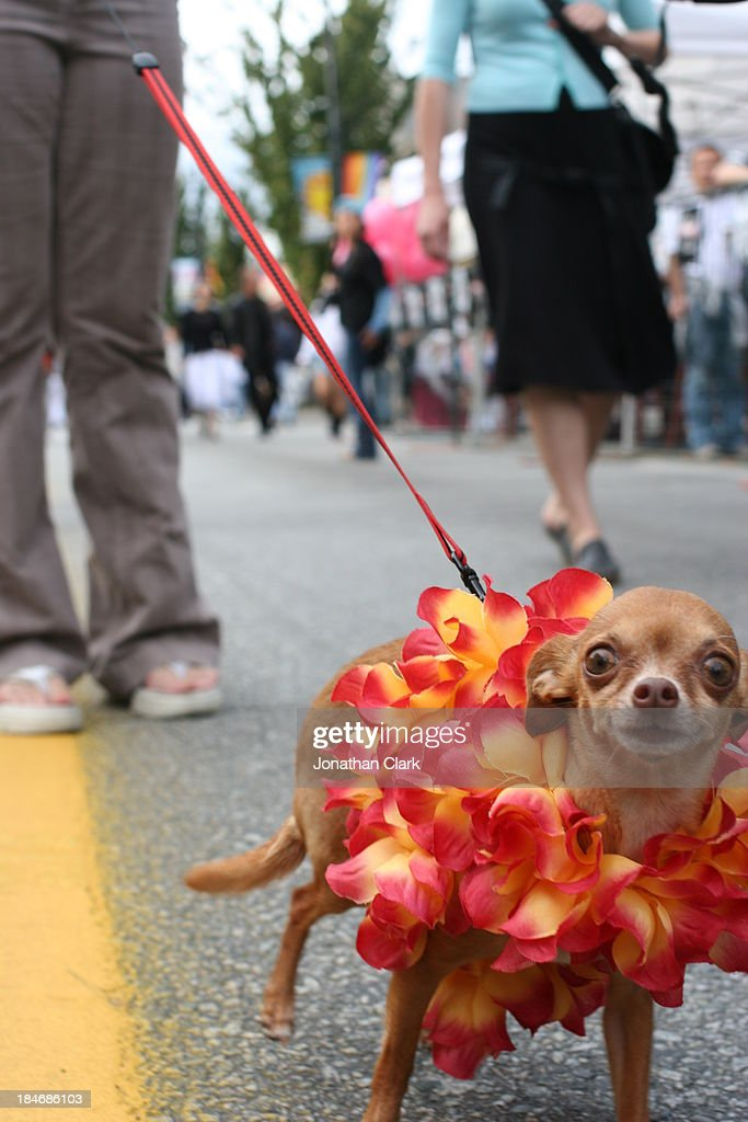 Chihuahua Dog with floral necklace and its owner : Stock Photo