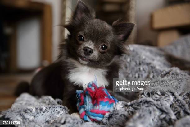 Chihuahua dog with soft toy
