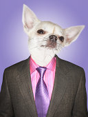 Chihuahua dressed business man