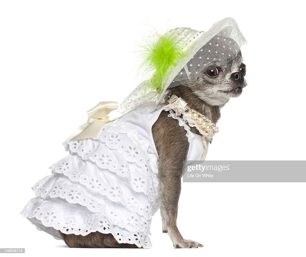 Chihuahua dressed : Stock Photo