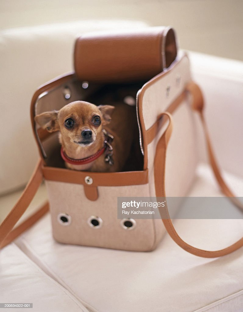Chihuahua in doggie carrier : Stock Photo