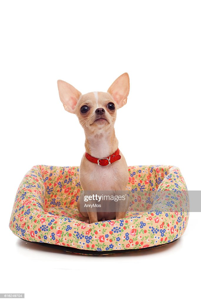 Chihuahua in the basket : Stock Photo