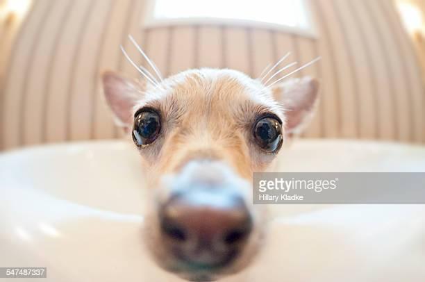 Chihuahua in the bathtub