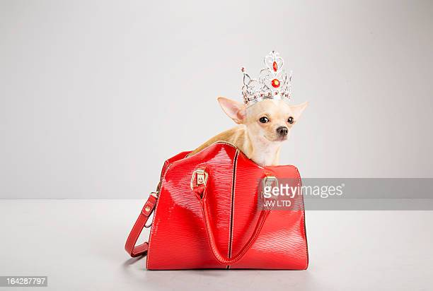 chihuahua inside red hand bag, wearing tiara