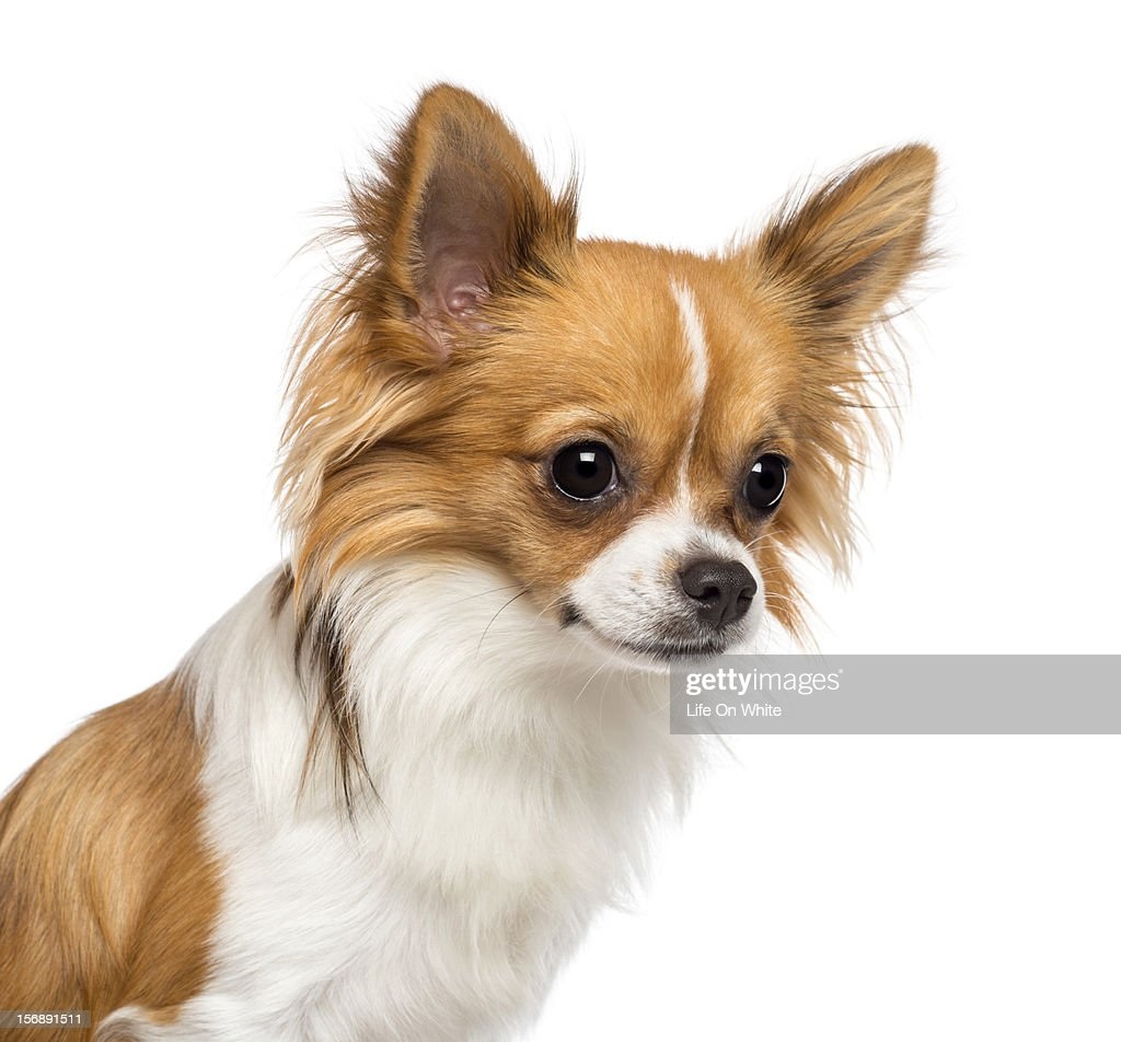 Chihuahua (10 months old) looking away : Stock Photo