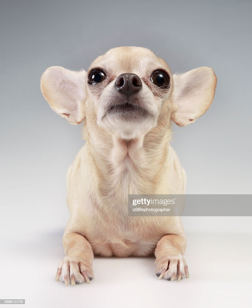 Chihuahua looking up