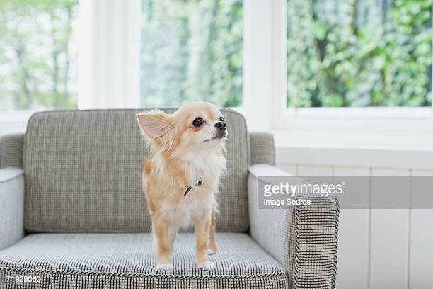 chihuahua on an armchair