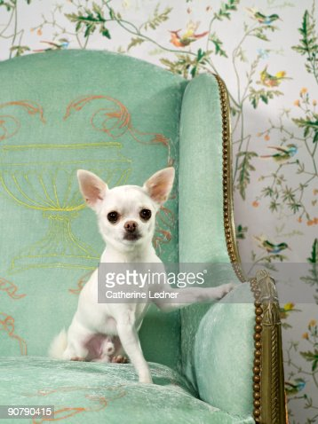 Chihuahua on chair with wallpaper : Stock Photo