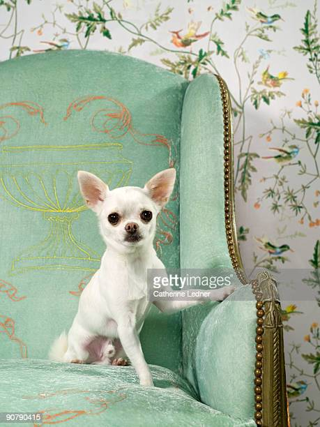 Chihuahua on chair with wallpaper