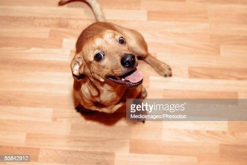 Chihuahua on floor looking at camera, close-up, high angle view : Stock Photo