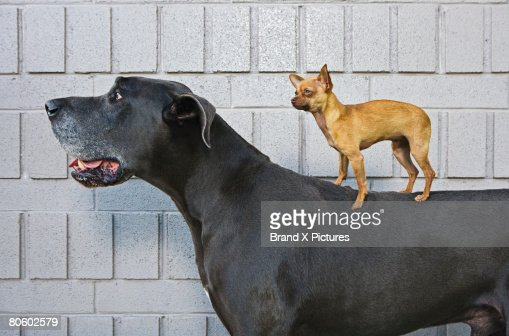 Chihuahua on Great Dane's back : Stock Photo