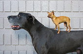 Chihuahua on Great Dane's back