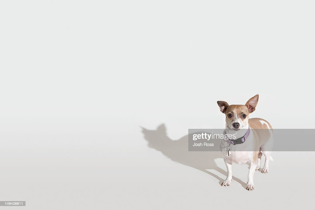 Chihuahua : Stock Photo