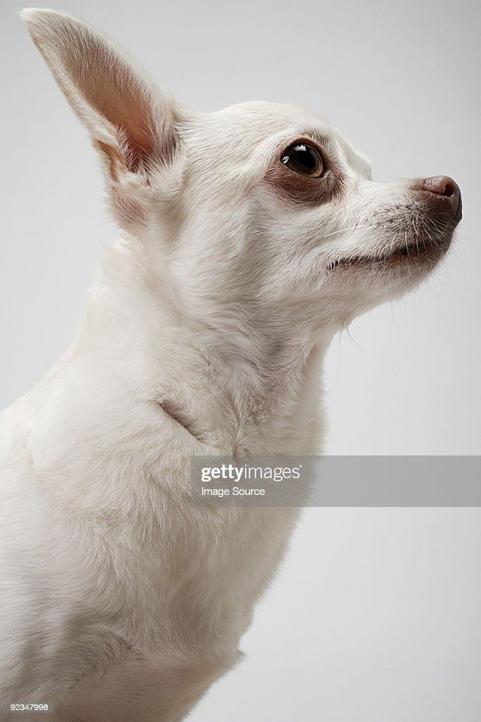 Chihuahua : Stock Photo