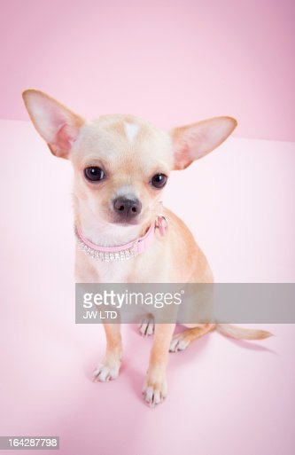 chihuahua, pink background, looking to camera