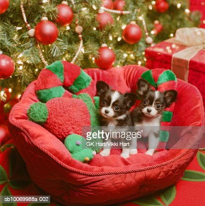 Chihuahua puppies in dog bed with Christmas decoration, close-up : Stock Photo