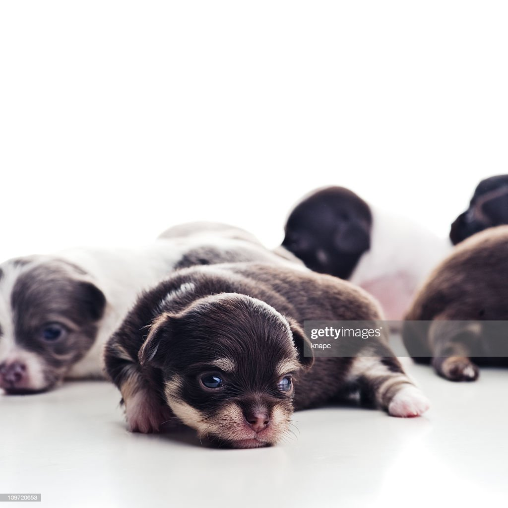 chihuahua puppies : Stock Photo
