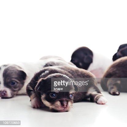 chihuahua puppies : Stock Photo