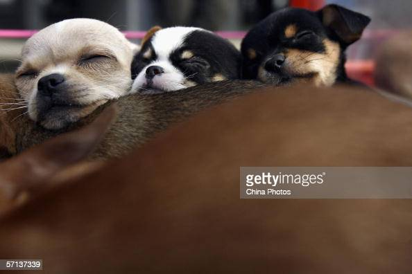 Chihuahua puppies sleep at a pet market on March 19 2006 in Beijing China According to state media with the country's pet population growing fast...