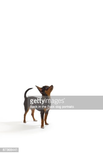 Chihuahua puppy dog on white background