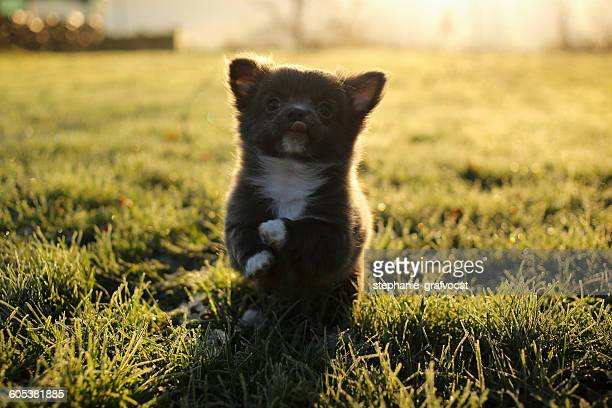 Chihuahua puppy dog playing in garden