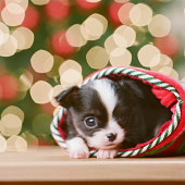 Chihuahua Puppy in Christmas stocking in front of Christmas tree, close-up