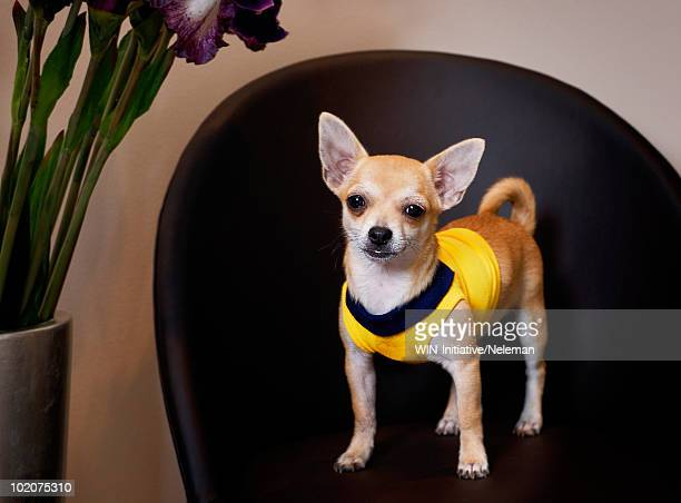Chihuahua puppy in yellow shirt standing on a chair