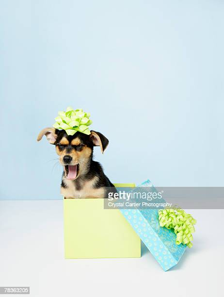Chihuahua puppy inside gift box