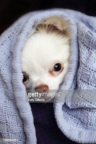Chihuahua Puppy Peeking : Stock Photo