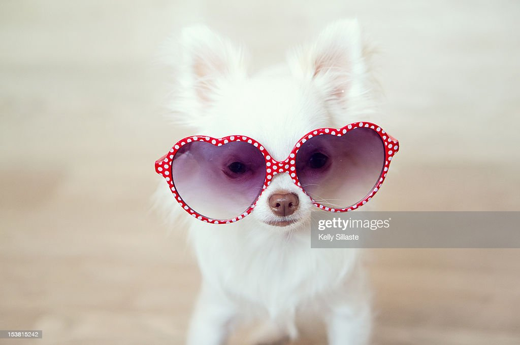 White Chihuahua puppy wearing heart shaped sunglasses.