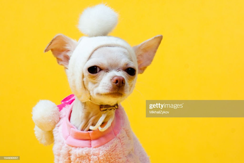 Chihuahua Puppy : Stock Photo