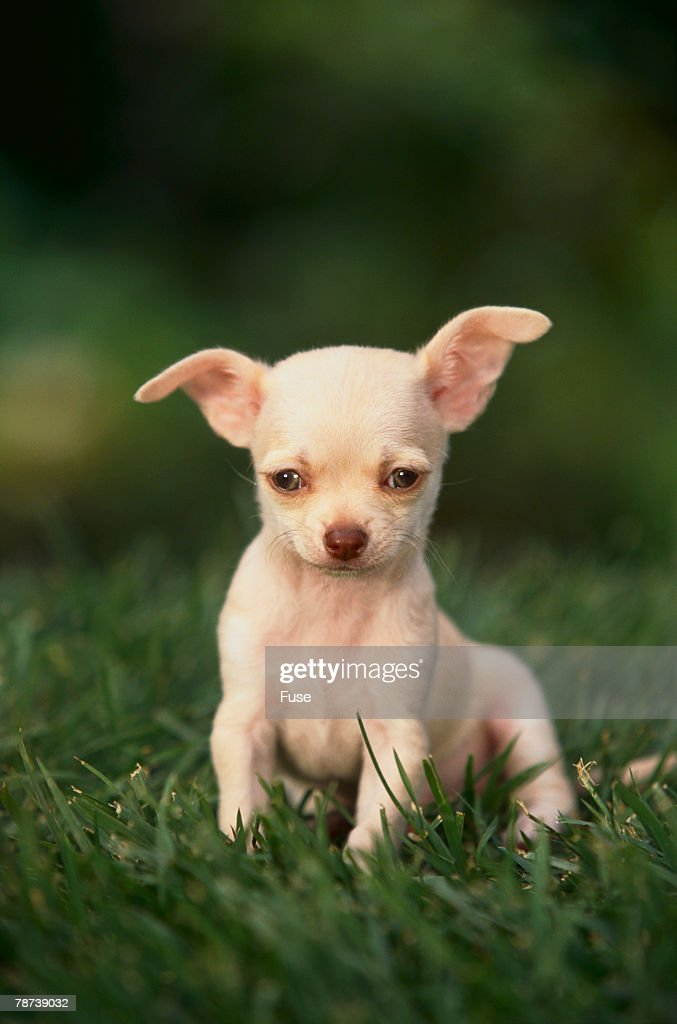 Chihuahua Puppy : Stock Photo