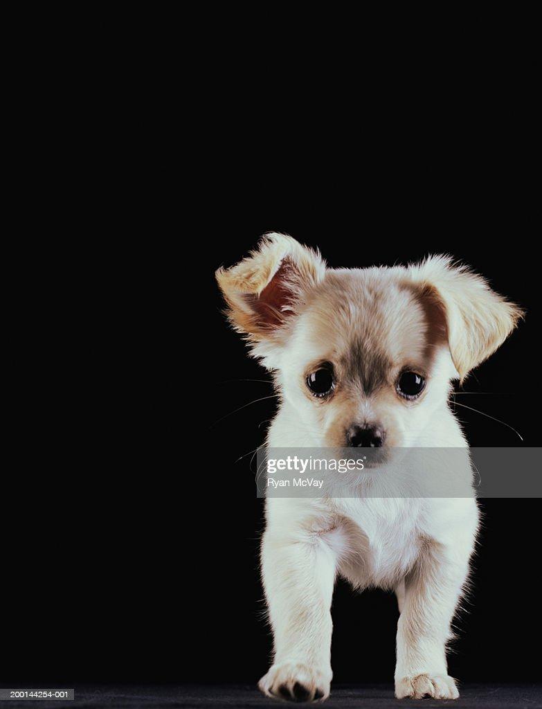 Chihuahua puppy, portrait : Stock Photo