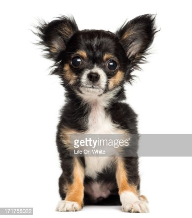 Chihuahua puppy sitting, facing, 3 months old