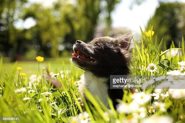 Chihuahua puppy sitting in garden