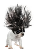 This is a long-haired chihuahua puppy small dog with crazy troll hair.