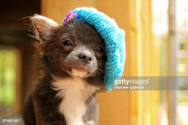 Chihuahua puppy wearing knitted hat