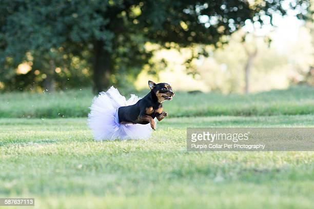 Chihuahua Running in Tutu Outdoors