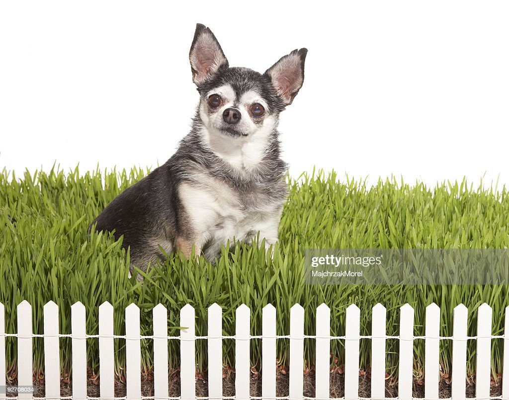 Chihuahua sitting in grass with white fence : Stock Photo