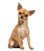 Chihuahua sitting, looking at the camera, 1,5 year old, isolated on white