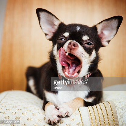 Chihuahua Sitting on Blanket and Yawning