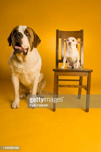 Chihuahua sitting on chair