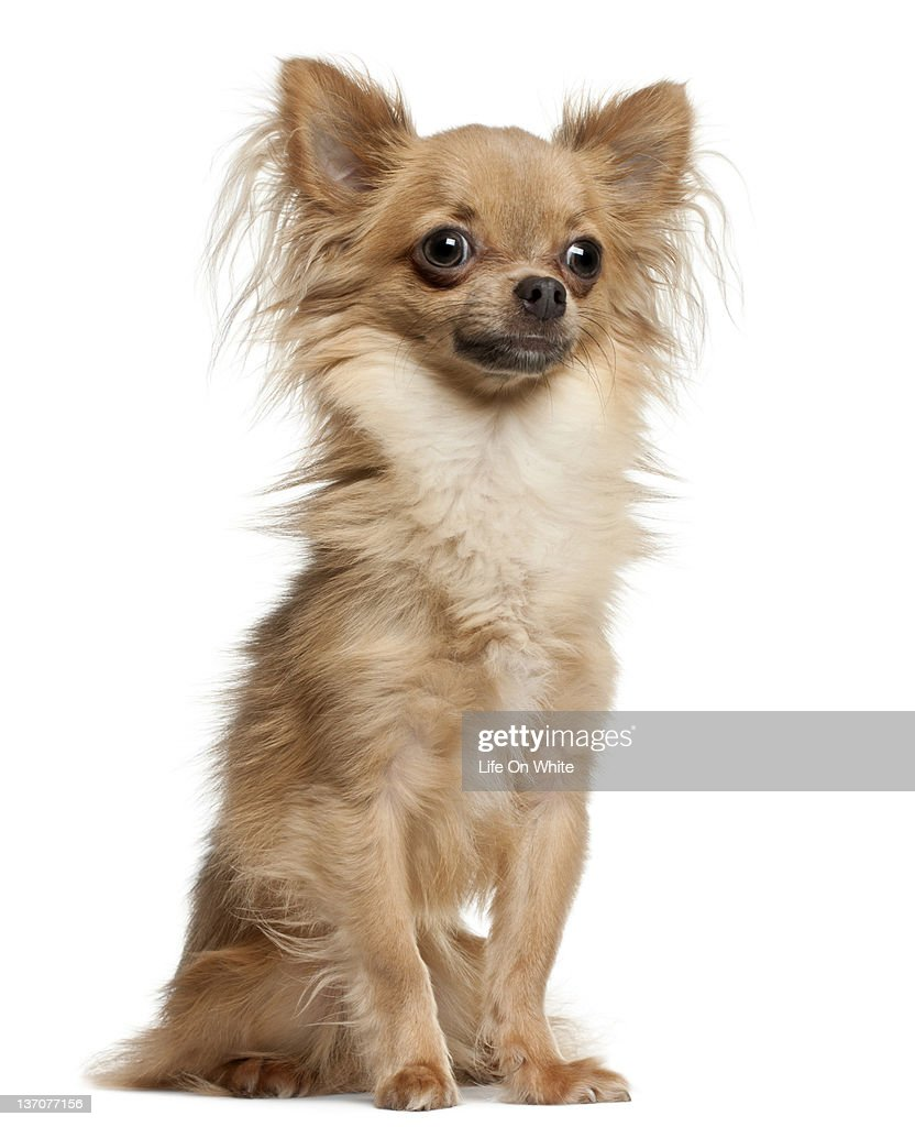 Chihuahua (10 months old) sitting : Stock Photo