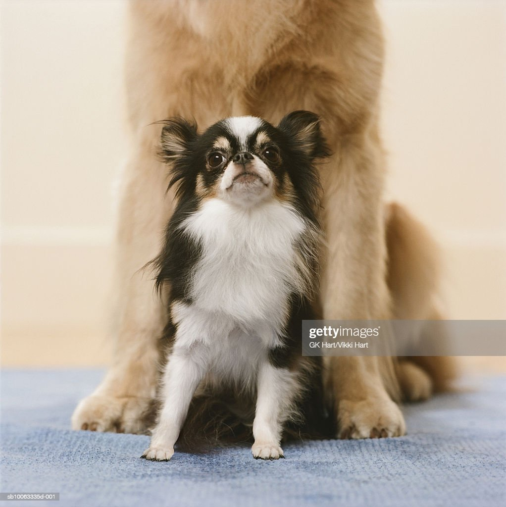 Chihuahua sitting with Golden Retriever Dog : Stock Photo