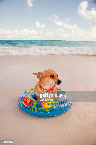 Chihuahua sitting with inner tube on beach, close-up