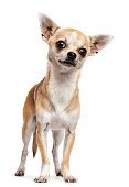 Chihuahua standing and looking at camera against white background