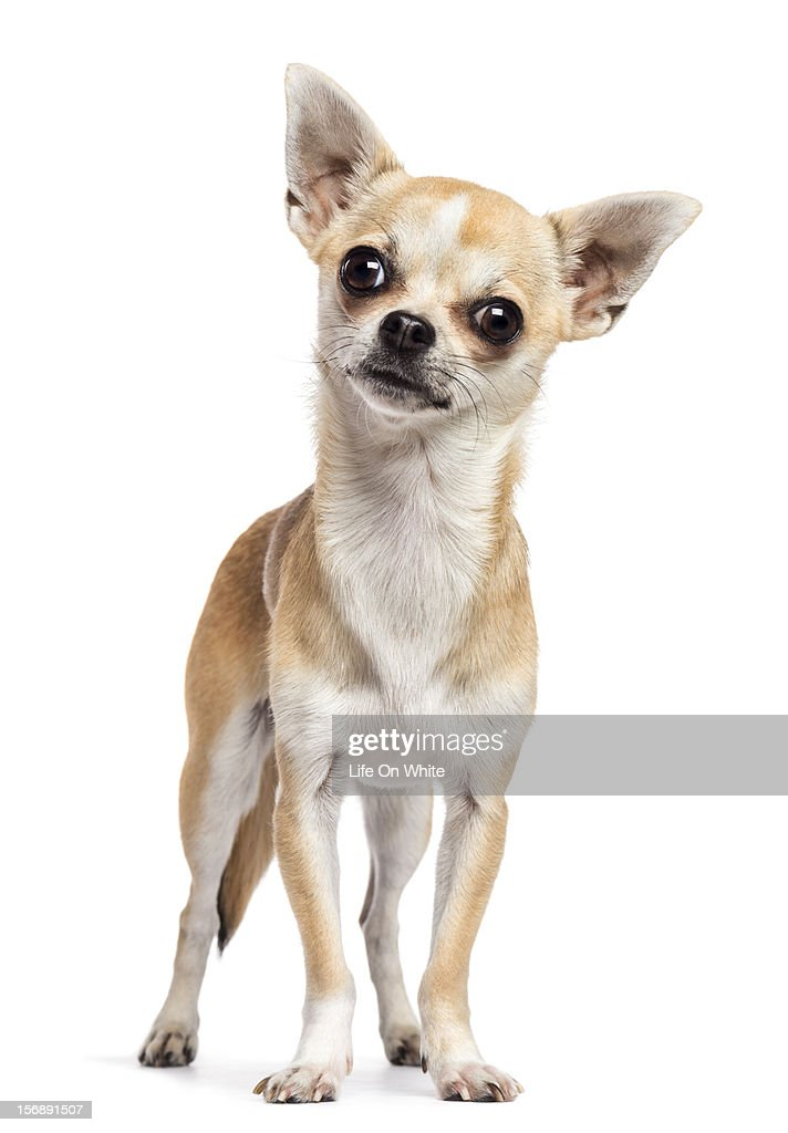 Chihuahua standing and looking at the camera : Stock Photo