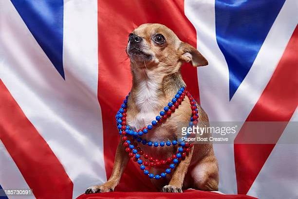 chihuahua standing proud against Union Jack flag